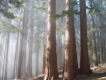 Tulare County Sequoia grove
