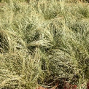 Carex Frosted Curls