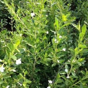 Freylinea white