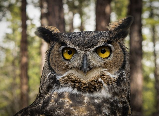 Great_Horned_Owl_in_Oregon