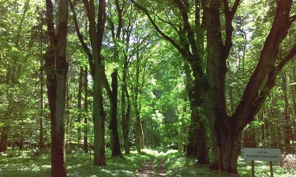 Aleja dębowa prawem chroniona park Pałacu Lubostroń oak alley avenue