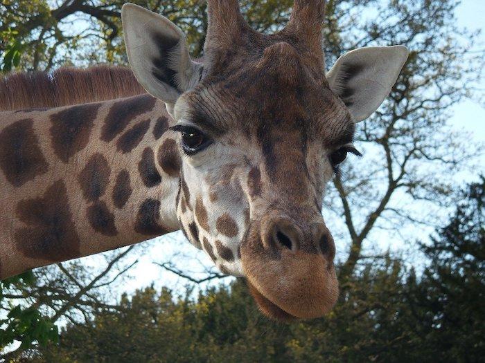 Giraffe at Wild Animal Safari, LaGrange