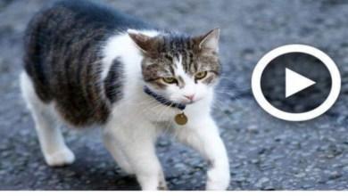 Photo of قطة تحترم قواعد المرور بكل دقة! (فيديو)