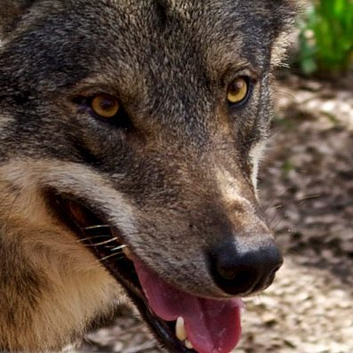 animales-mamiferos-peligro-extincion-extremadura