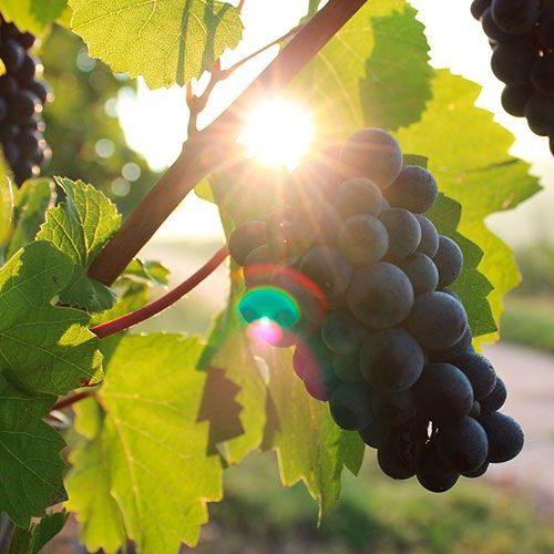 uvas para recetas de migas extremeñas