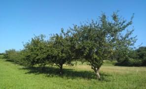 Manzanal / Manzano