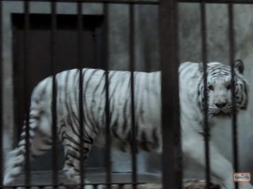 O complicado foi pegar o tigre parado