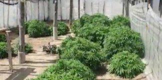 istixanada narkotik bitki