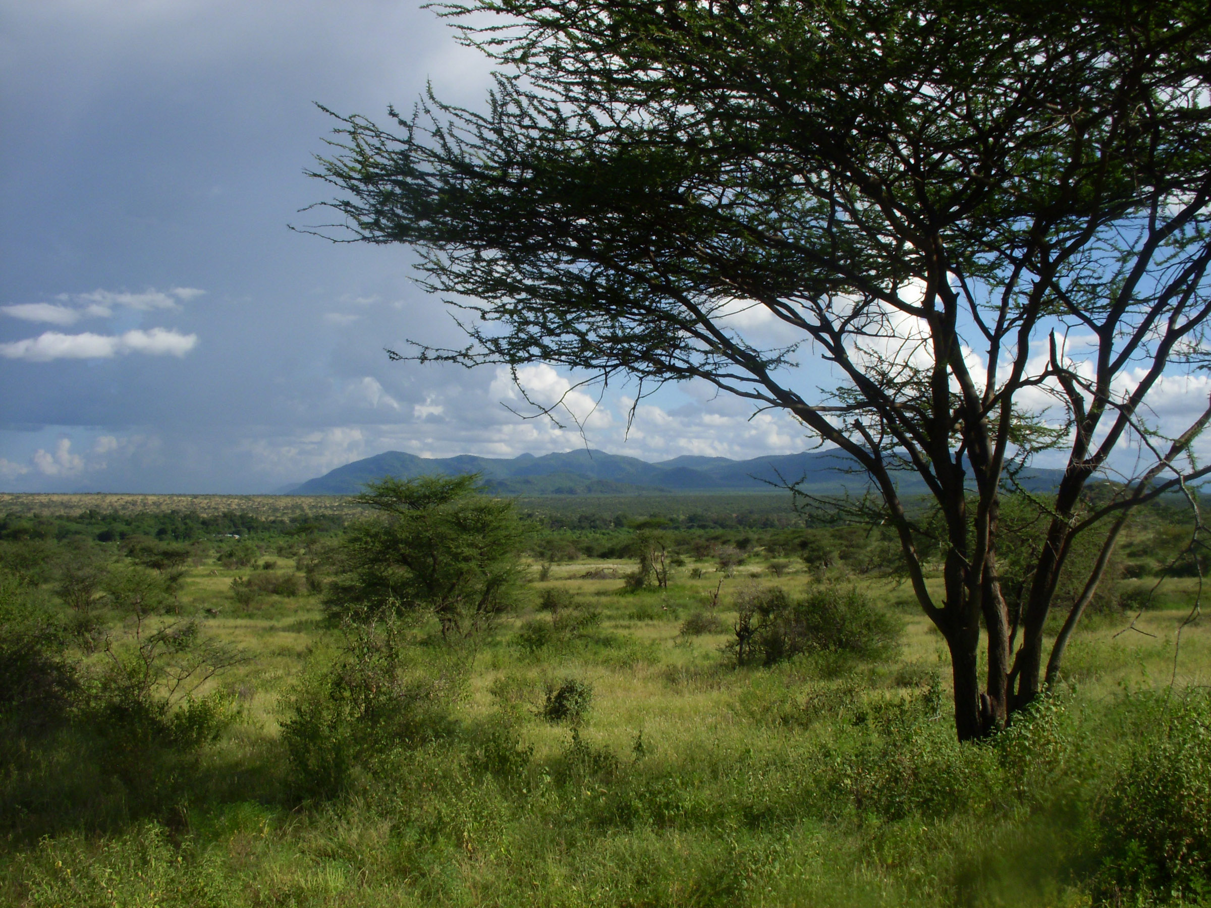 An East African savanna landscape of tree-dotted grassland is shown in this image from Samburu National Reserve in Kenya. The more heavily vegetated area in the middle distance is the corridor of the Ewaso Ngiro River. A new University of Utah study concludes that savanna was the predominant ecosystem during the evolution of human ancestors and their chimp and gorilla relatives in East Africa. Photo Credit: Thure Cerling, University of Utah.