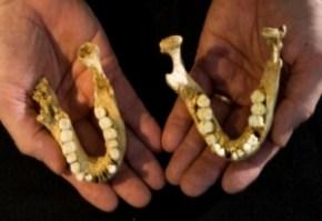 Image: fossil jaws of Homo floresiensis © Djuna Ivereigh/ARKENAS.
