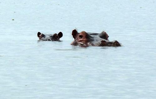 Hippos on Lake Naivasha