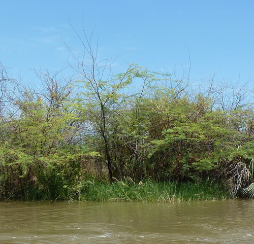 Prosopis smothers aquatic grasses, which have almost completely disappeared from the delta