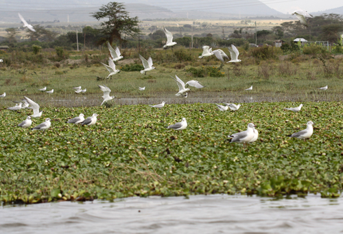 Water Hyacinth, gulls and terns at Naivasha