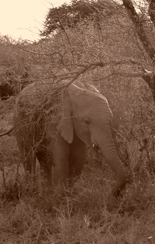 Sepia-elephant-Mpala-LR2
