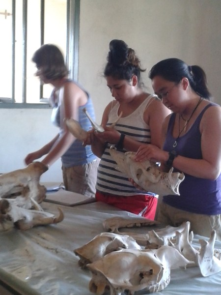 Sam examines the teeth of a zebra while Aileen looks at the mandible of a warthog.