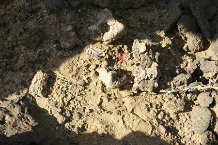 Fragmented skull of a crocodile