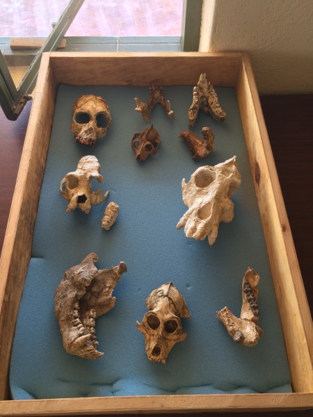 A few casts of primates, including hominoids and hominids (discussed more in the next class).