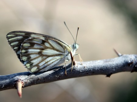 The brown veined butterfly continued its migration - we had been studying them at Mpala - and were aiding in pollination all over the landscape.