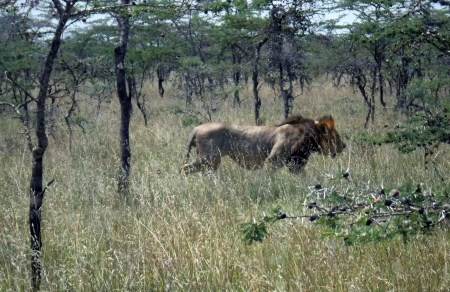 Several lucky students had the opportunity to follow three adult brother lions in the black cotton environment at Mpala.