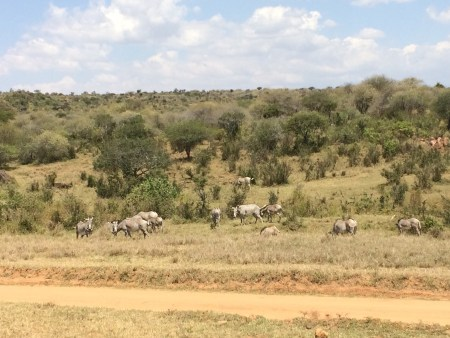 We also saw a group of grey zebras, an endangered species of zebra. Dr. Martins exaplained to the students how Grevy Zebras have different stripes and are overall larger than other zebra species. He also mentioned how there are only 2350 individuals left in the world so the students were really lucky to see so many!