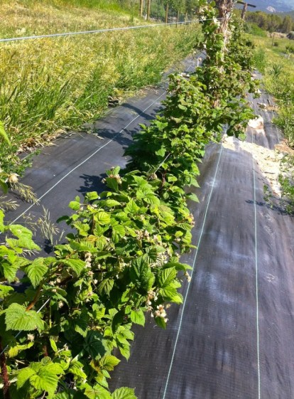 The raspberries are doing great and are loaded with fruit - fruit members should expect berries this summer.