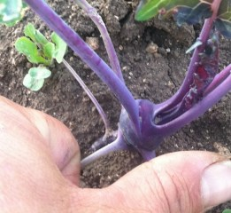 New this year - purple kohlrabi (as well as gren) - pictured here next to my thumb for size comparison. We will start picking these soon - around golf ball sized & larger; then continue harvesting them for several weeks.