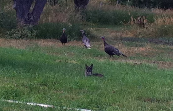 Daisy the farm dog, Hanging out with the turkeys.