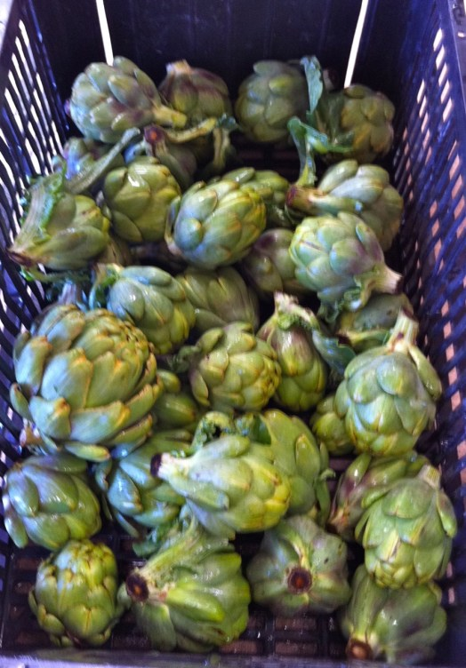 The 1st artichoke harvest of the season. We should have artichokes for the boxes in a few weeks.