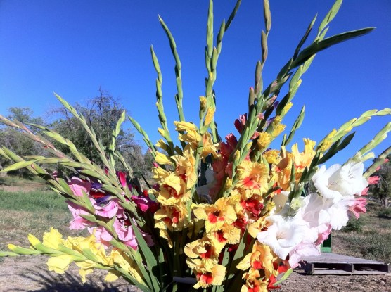 Lots of gladioli coming in, please email or call to order a $10 bundle.