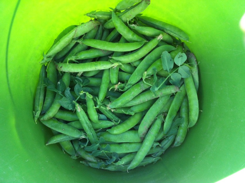 This week's heat makes me want to crawl up inside this bucket of peas.