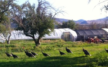 the turkeys, enjoying the falling apples these days