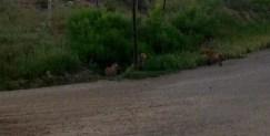 neighborhood foxes