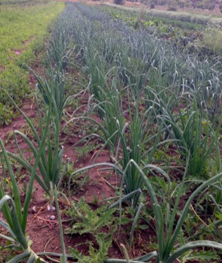 thousands of onions - walla walla, red, yellow etc