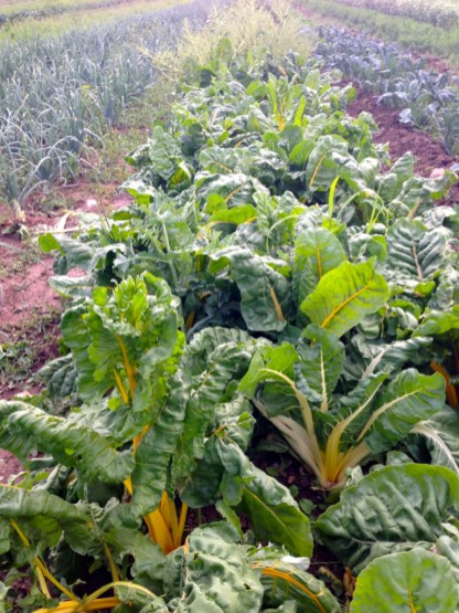 one of two giant chard zones