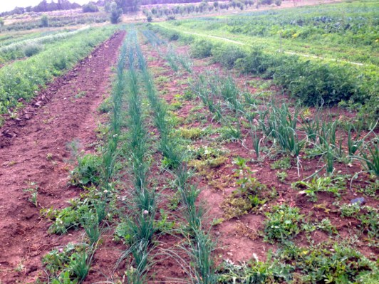 chives, leeks and more onions