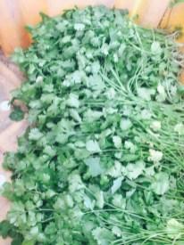 cilantro - enjoy it while we have it!