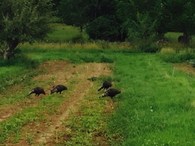 the turkeys at work eating grasshoppers