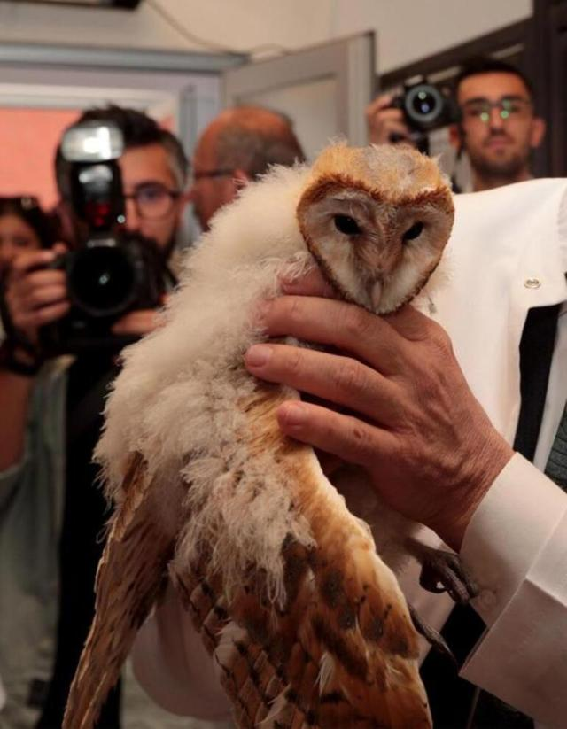 Tedavisi yapılan peçeli baykuş, doğaya bırakıldı