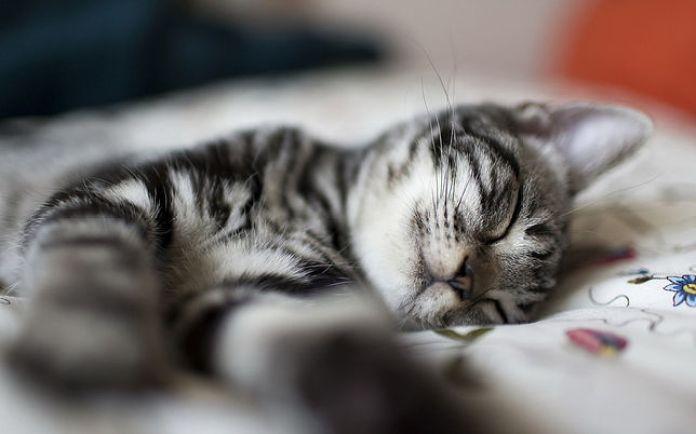 Kediler Neden Çok Uyur konusunda uyuyan sevimli bir kedi, Kediler Çok Uyur