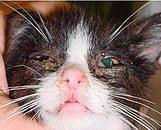 Feline Herpes Virus ün yol açtığı gözlerdeki akıntılar ve kızarıklıklar