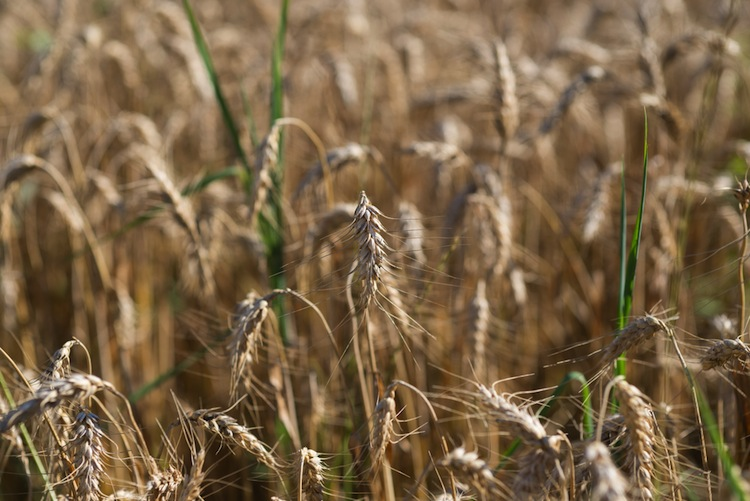 Il kamut, ovvero grano QK-77, è tra gli antichi cereali uno dei più conosciuti, grazie all'ottima strategia di marketing della famiglia Quinn.