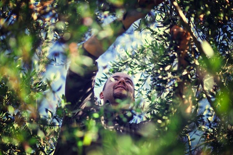 olive_albero