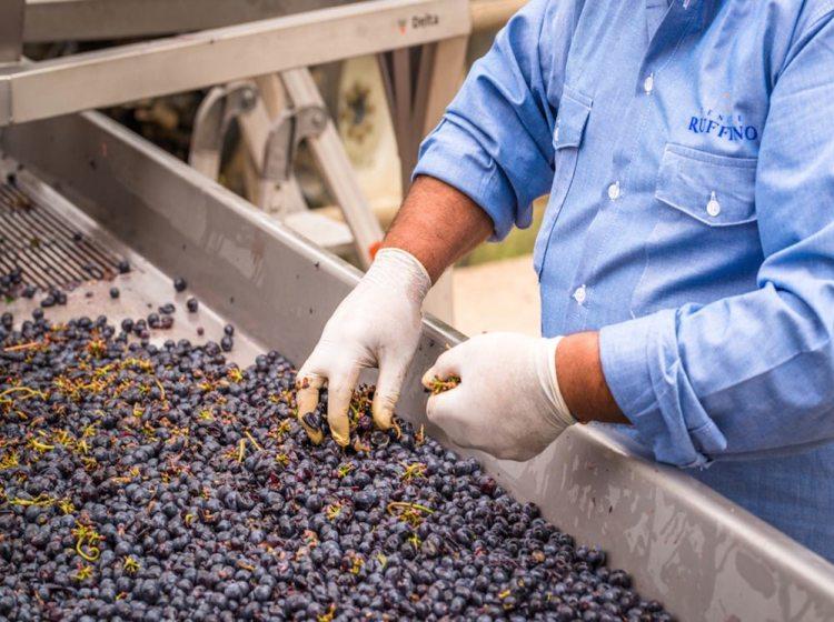La vendemmia nell'azienda vitivinicola Tenuta Poggiocasciano - Ruffino