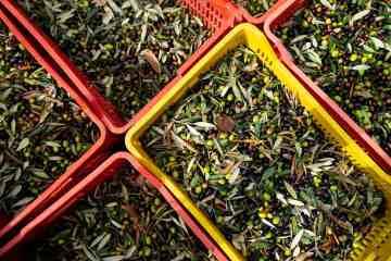 Olive raccolte per l'olio toscano 2019