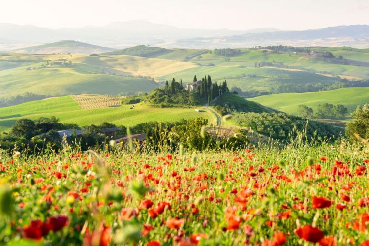Campo di papaveri in Val d'Orcia, Toscana
