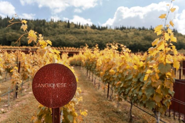 Cartello con scritto Sangiovese nelle vigne di un'azienda toscana in autunno
