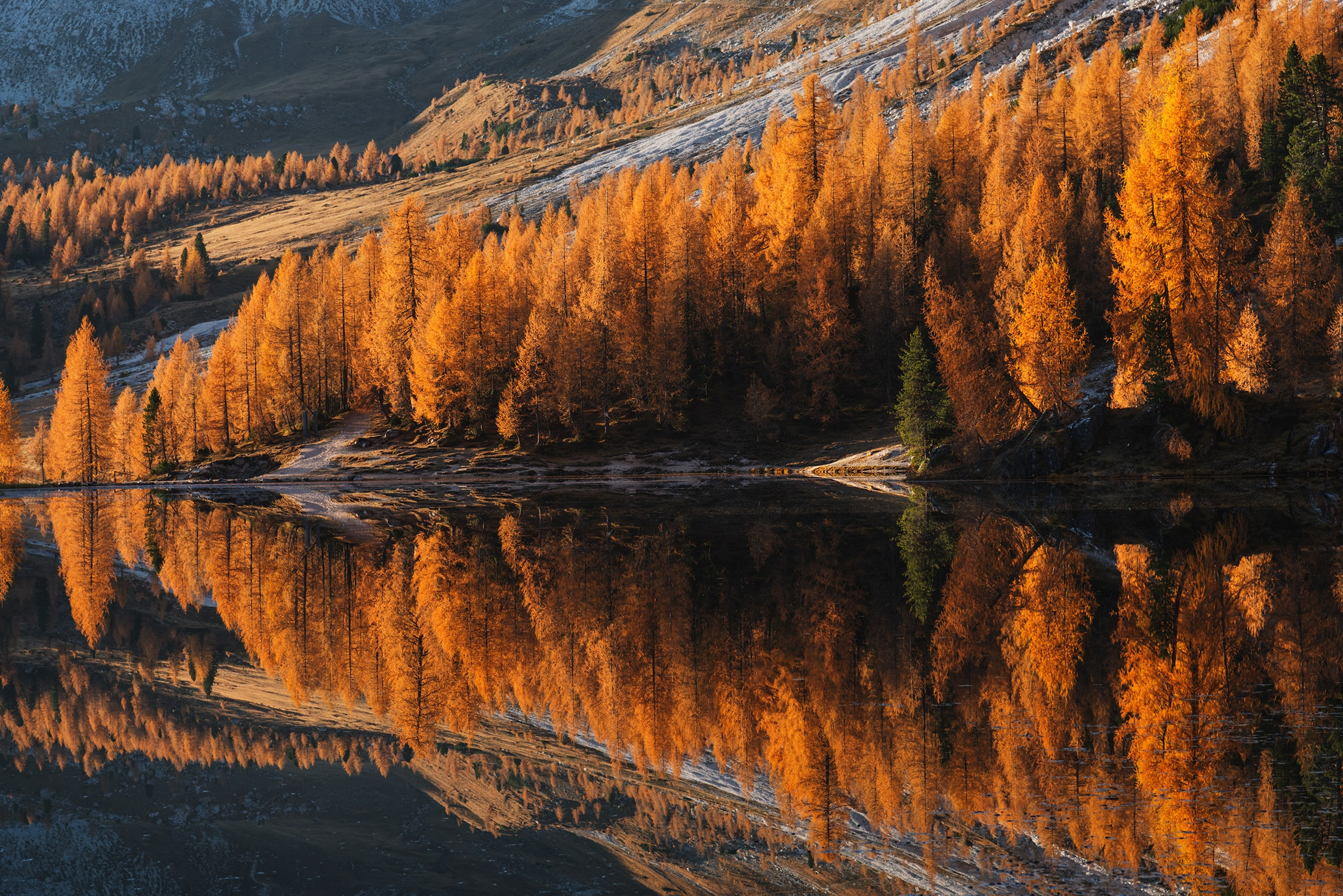 Larches in fall at sunrise in the Dolomites