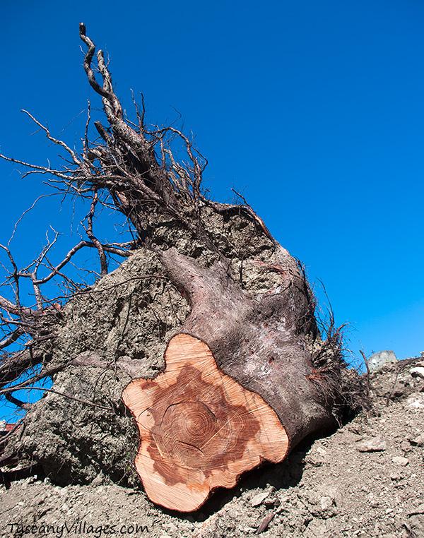 fallen tree Aramo cemetery