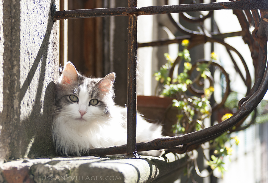 Cat in a window, tuscany. Buggiano