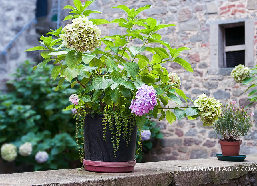 Stiappa-hydrangeas-flowers-Tuscany